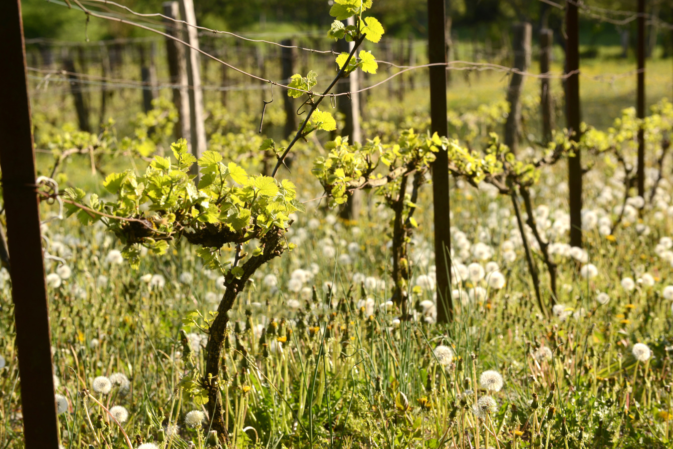 Les Vosges produisent peu de vin.
