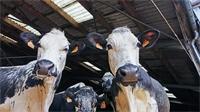 Un futur assuré pour la vache vosgienne
