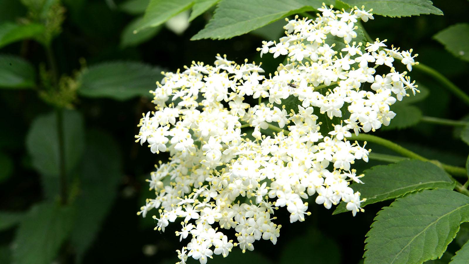 Sureau fleur