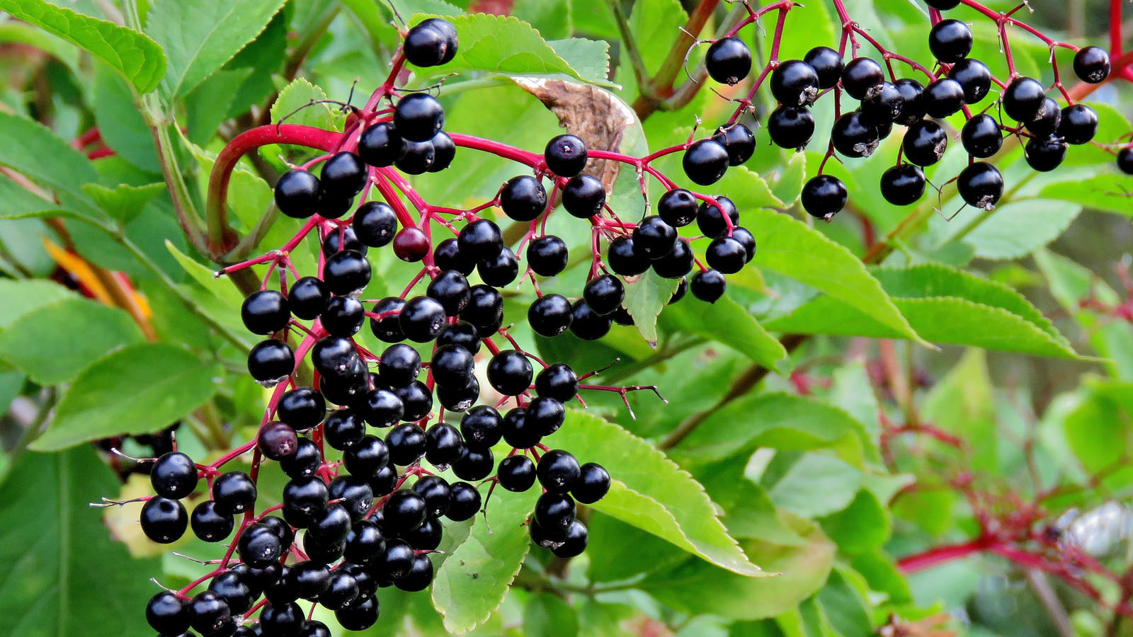 Sureau noir fruit ©Tom-Curtis