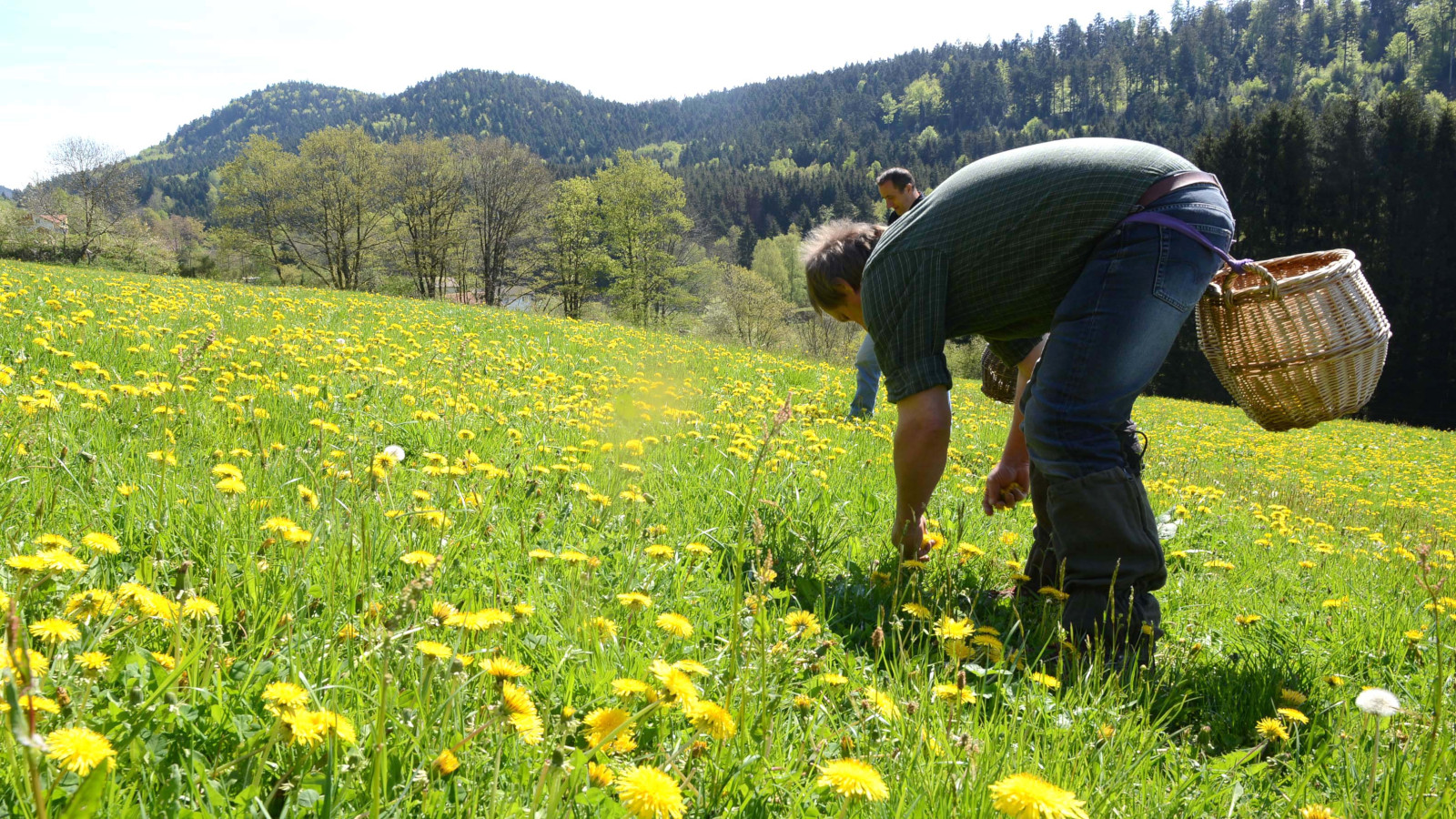 La récolte de pissenlit a lieu plusieurs fois par an, même en hiver.